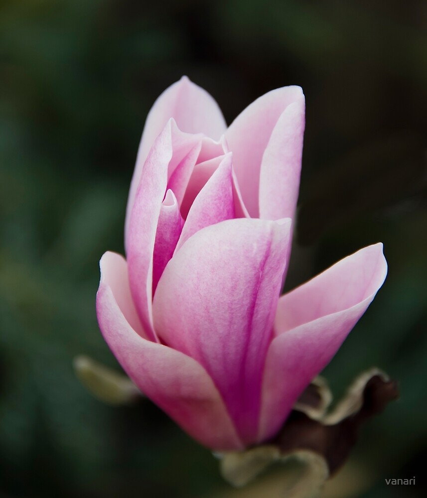 Magnolia in the Spring by vanari