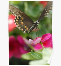 Black Swallowtail on Pink Poster