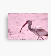 Young Ibis, As Is Canvas Print