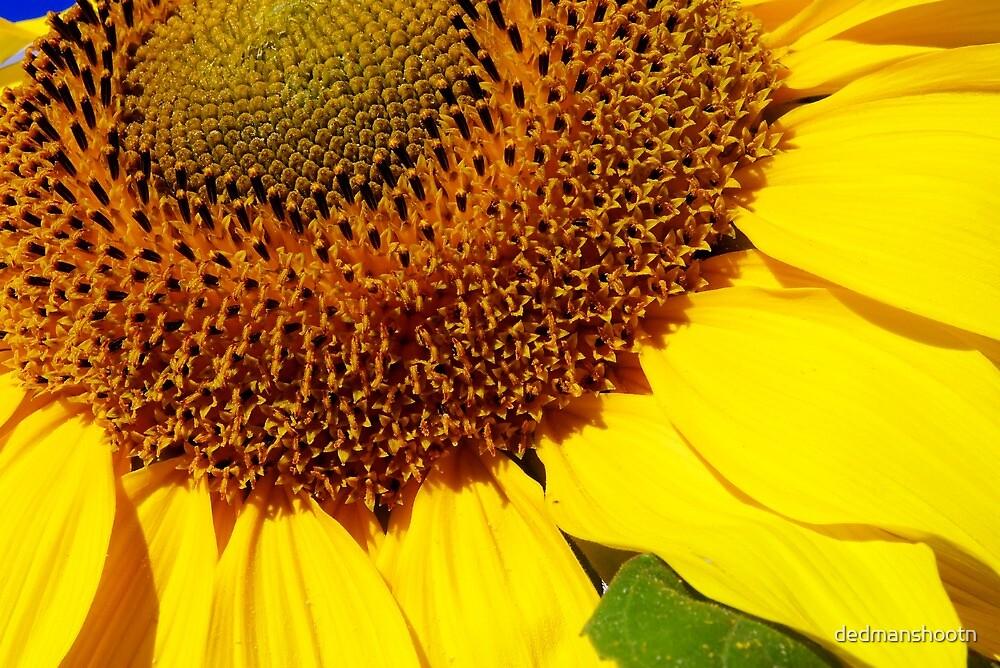 cheery sunflower close up by dedmanshootn