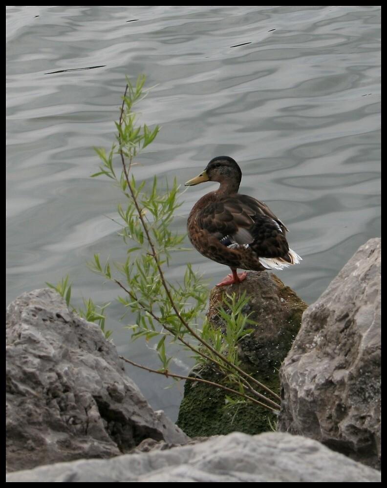 A Duck by aeramin