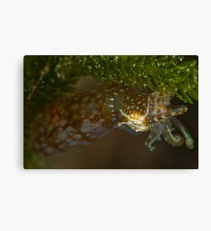 Southern Pygmy Squid Canvas Print