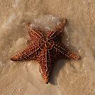 Starfish, Rose Island, Bahamas by Shane Pinder