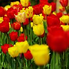 Bed of tulips, Polesdon Lacey by Guy Carpenter