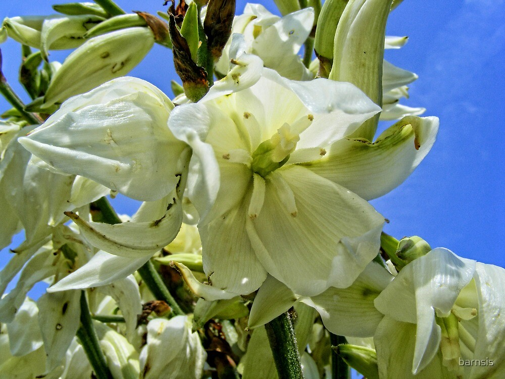 Yucca Blooms by barnsis