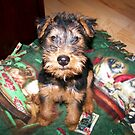 Tucker at the Age of Eight Weeks by barnsis
