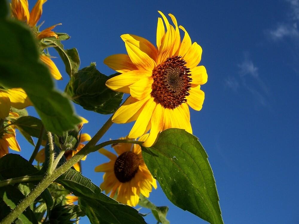 Sunflower by aeramin