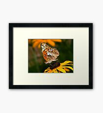 Variegated Fritillary Feeding on Black-eyed Susan Framed Print