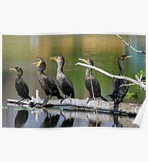 Singing cormorants! Poster