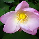 The Beguiling Lotus... by A.M. Ruttle