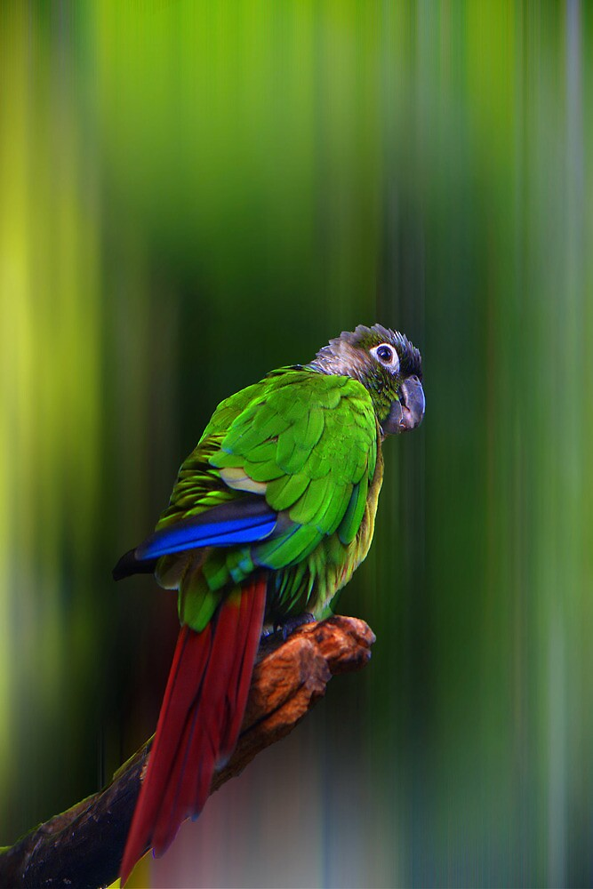 Quot Green Cheeked Conure Pyrrhura Molinae Quot By Jules572