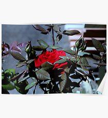 blurred rose Poster