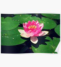 Lotus flowers in summer Poster