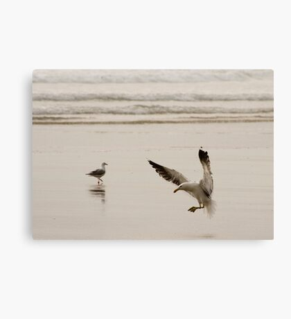 Coming in to land - seagull Baylys Beach NZ Canvas Print