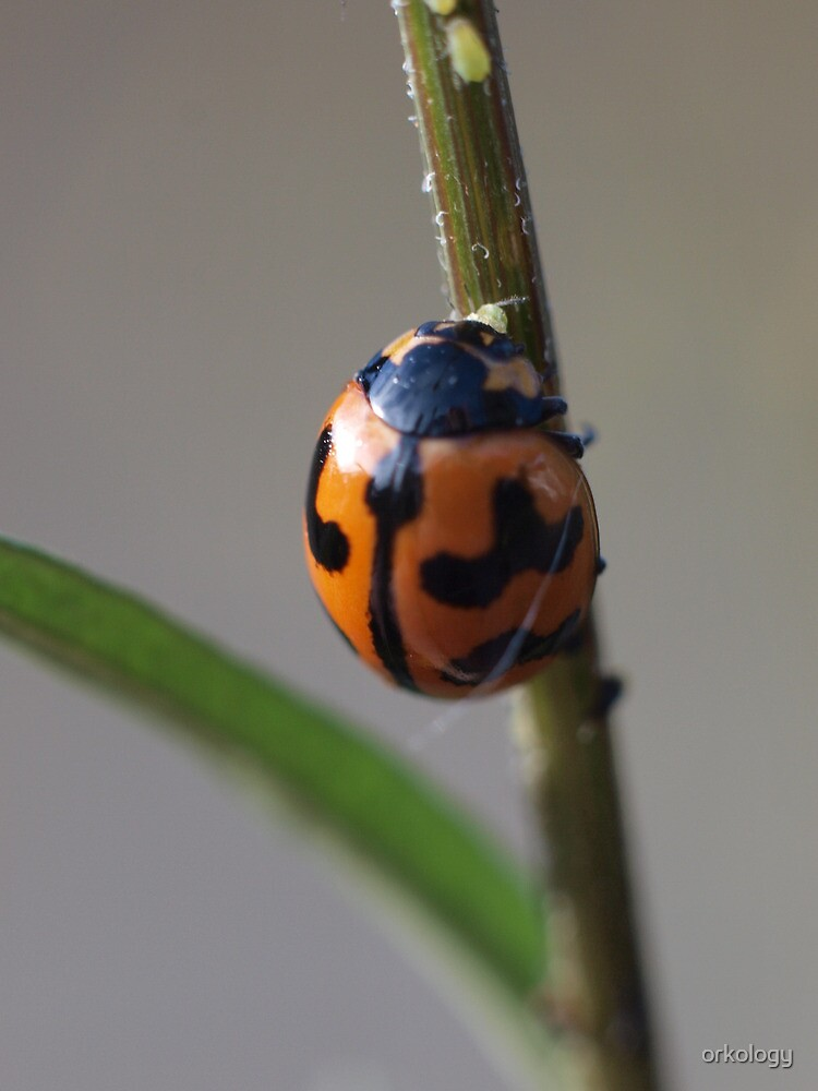 Ladybird beetle in Inverell by orkology