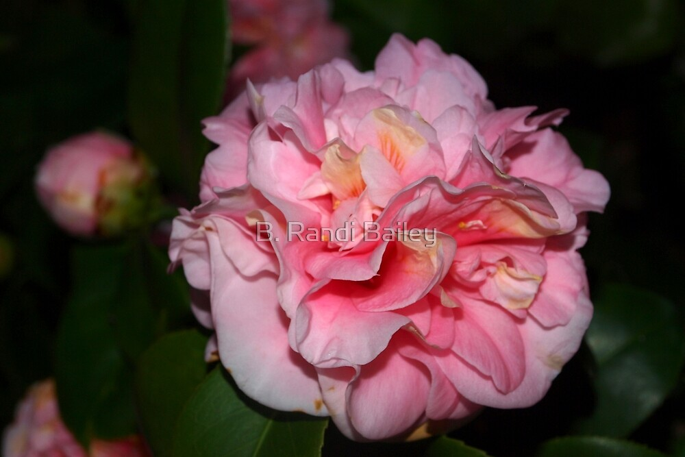 Pink camellia bloom by ♥⊱ B. Randi Bailey
