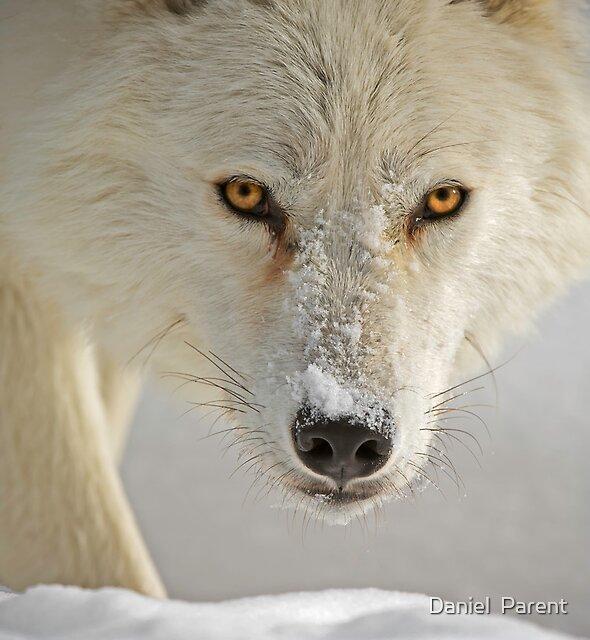 Arctic Wolf  by Daniel  Parent