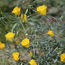 Closeup Golden Yellow California Poppies Coachella Wildlife Preserve by Colleen Cornelius