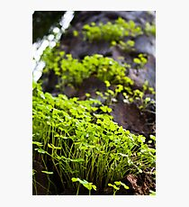 Clover Forest Photographic Print