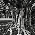 Banyan Tree, Sarasota, 2011 by Frank Bibbins