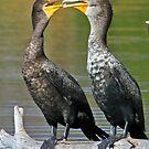 Kissing cormorants! by Anthony Goldman