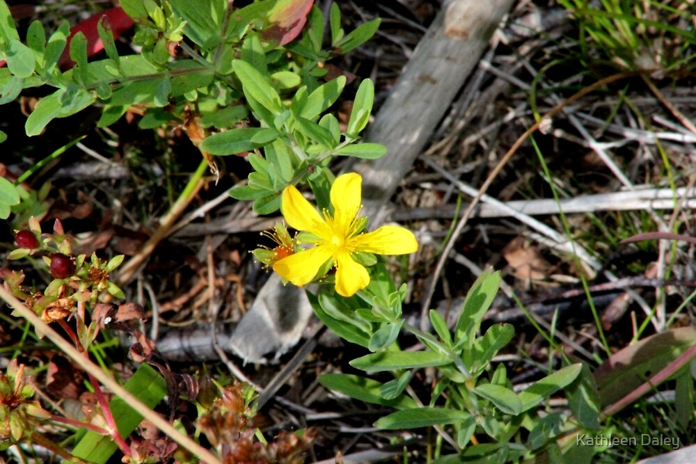 Pale St. Johnswort by Kathleen Daley