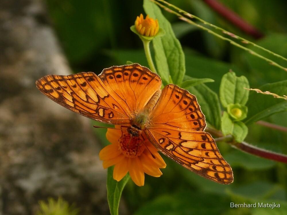 butterfly  - mariposa by Bernhard Matejka