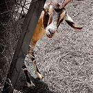 """Peek A Bahhhh"" - goat peeks around corner by ArtThatSmiles"