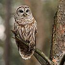 Barred Owl  by Bill Maynard