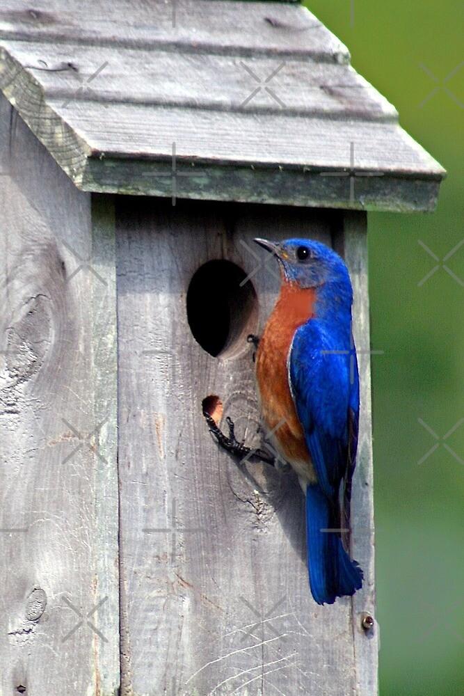 Eastern Bluebird by Julie's Camera Creations <><
