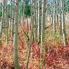 Aspen Tree Trunks and Burning Reds by Bo Insogna