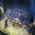 Red-eared slider Turtle by jules572
