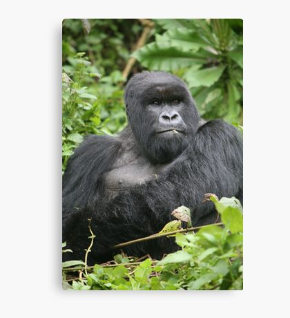 Silverback on Watch Canvas Print