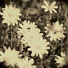 Desert Chicory Coachella Wildlife Preserve in Sepia by Colleen Cornelius