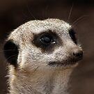 Meerkat Whiskers by AnnDixon