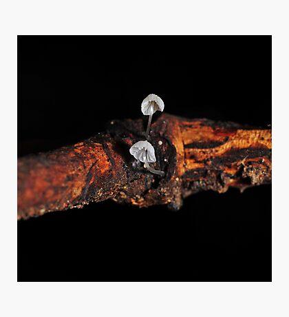 Tiny White pair Photographic Print
