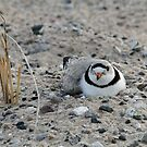 Piping Plover by photobear