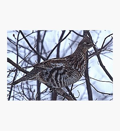 And A Partridge in a Elm Tree Photographic Print