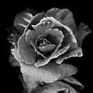 Flower B&W  by Scott Lebredo