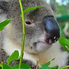 A day in the Life of a Koala by Rebecca Holman