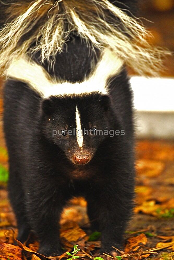 Angry skunk by purelightimages