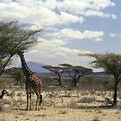 Reticulated Giraffe browsing in Samburu NP, Kenya, Africa by Bev Pascoe