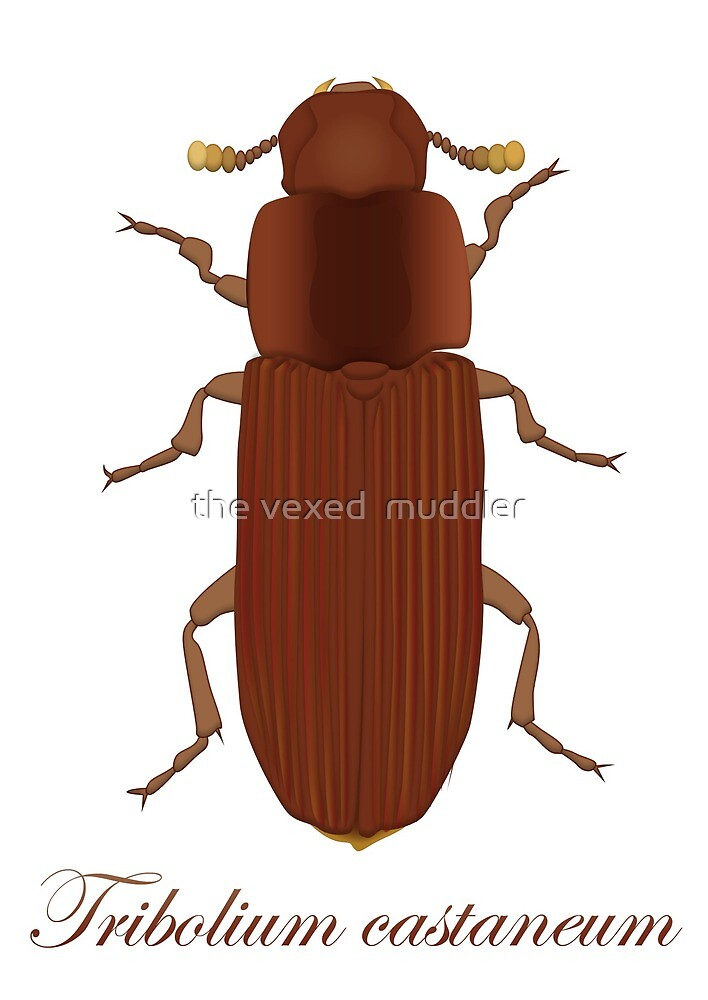 Tribolium castaneum - Red flour beetle  by the vexed  muddler