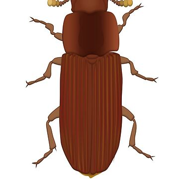 Tribolium castaneum - Red flour beetle  by thevexedmuddler