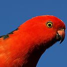Male King Parrot in Drouin garden by Bev Pascoe