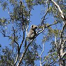 Raymond Island Koala by Erial