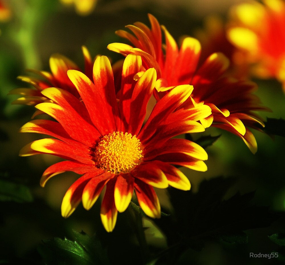 flowering sunshine by Rodney55