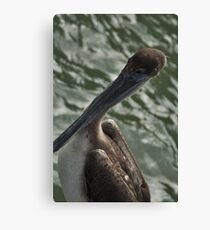 Young Brown Pelican, As Is Canvas Print