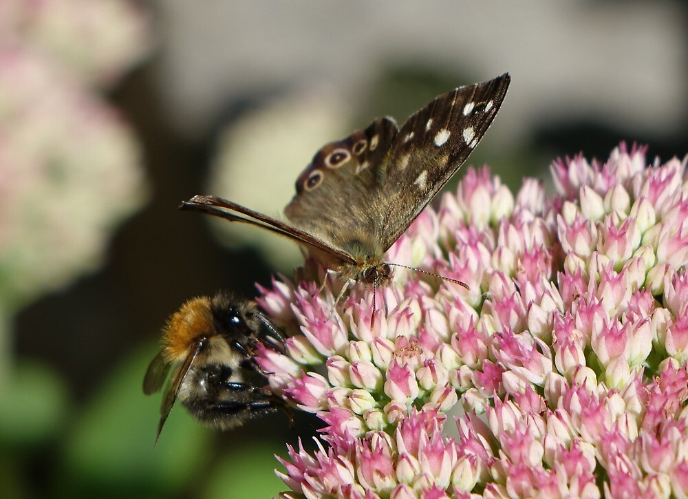 Buzzy on a sedum by frogs123