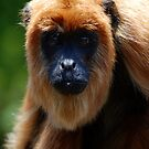 Bolivian Red Howler Monkey (Alouatta sara) - Bolivia by Jason Weigner